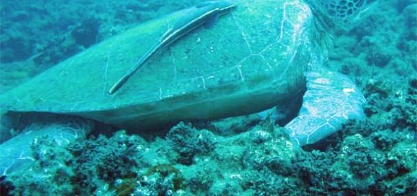 צב ים ירוק - צלילה חופשית - ישראל - אבידג