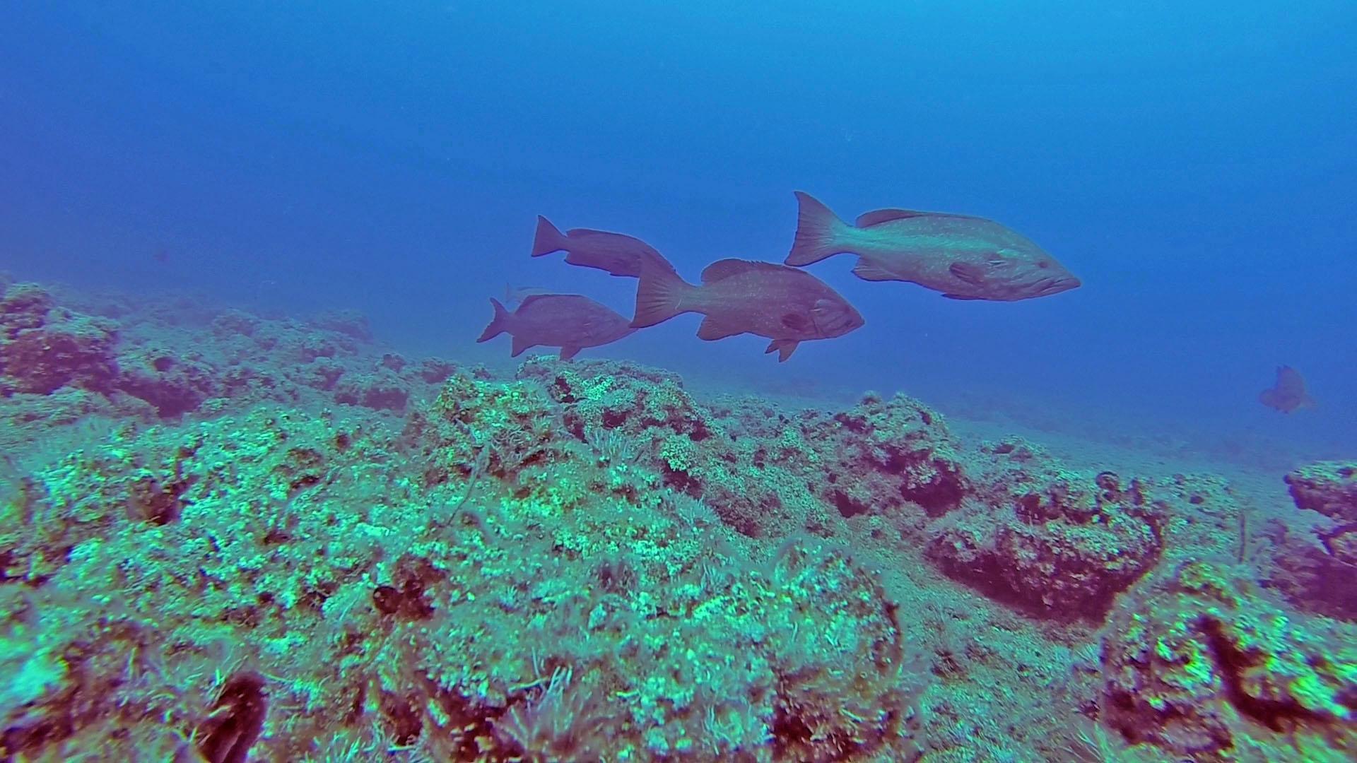 דקרניות אדומות (אירדים) שוחים במיבנה באתר התקבצות רבייה