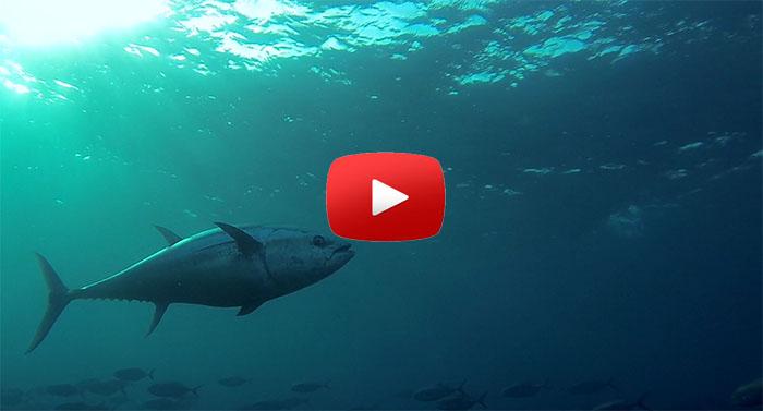 bluefin tuna avidag freediving school